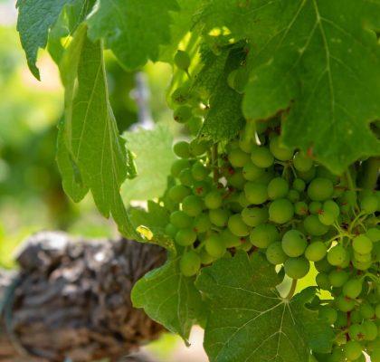 På vingårdsbesøk
